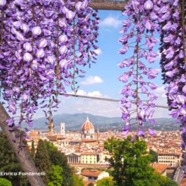 Una cascata di glicine per Firenze.