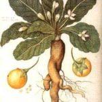 Le origini della Mandragola